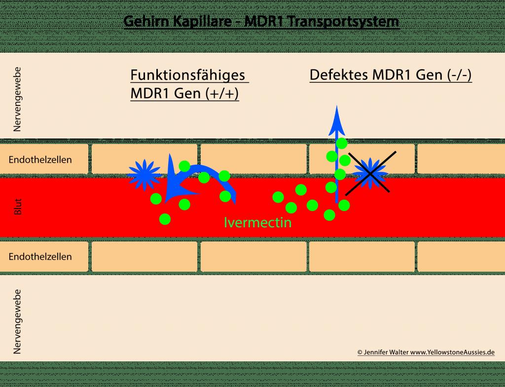mdr1 zelltransport 1 1024x785 - Infos