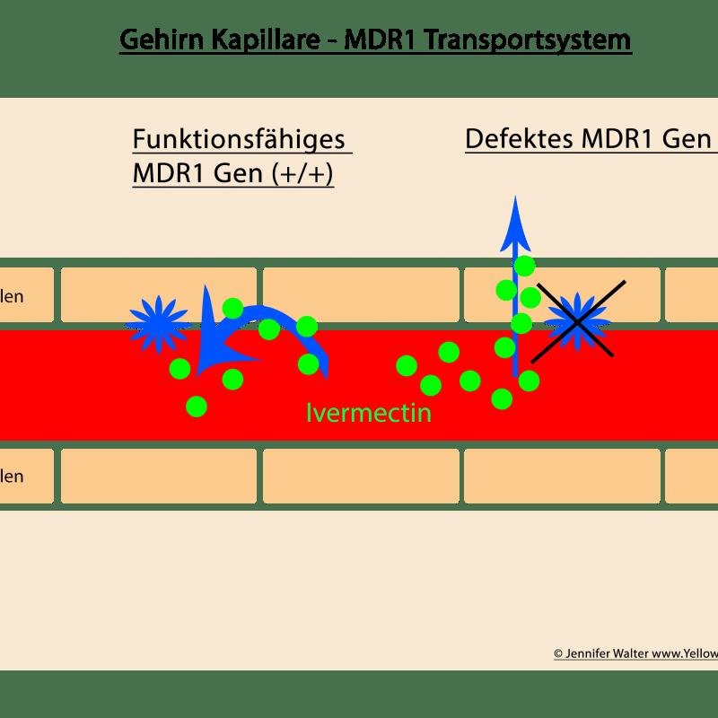 mdr1 zelltransport 1 800x800 - MDR1-Gen-Defekt