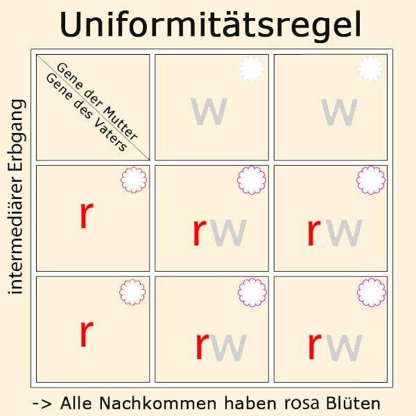 uniformitaetsregel intermediaerer erbgang - Crashkurs Genetik, Vererbung & Erbgänge