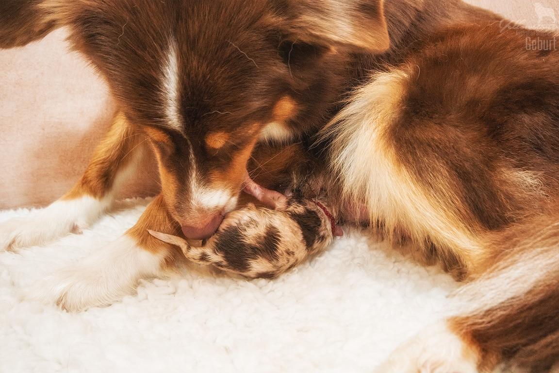 layla sammy geburt 23 - Canines Herpesvirus Typ 1