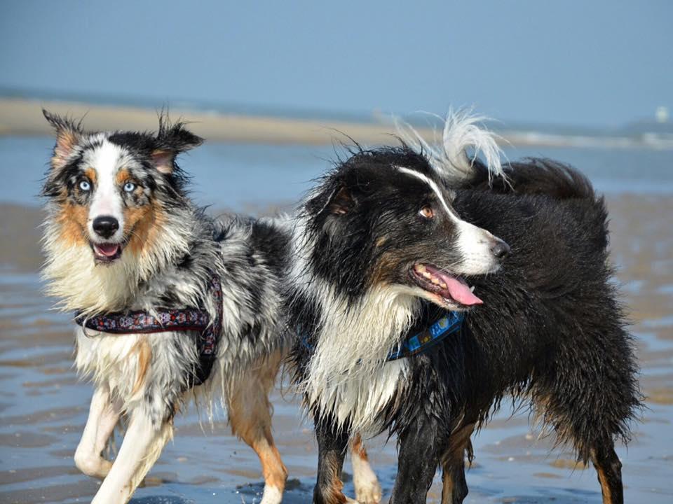Josie Roy Welpen Leia am Strand Bild 6 - Integration eines zweiten Hundes