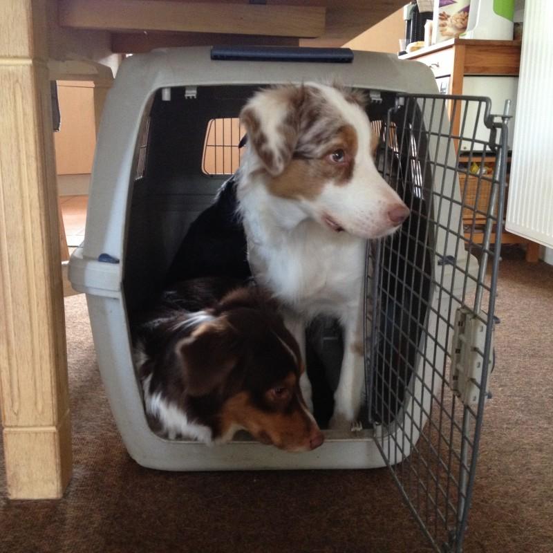 Wie viele Hunde passen wohl in eine Hundebox Beitragsbild 800x800 - Welpen an Box gewöhnen