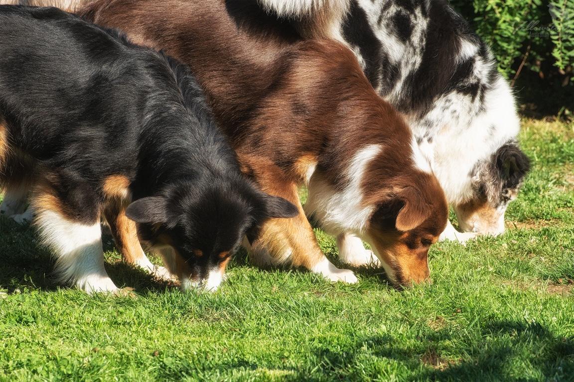 Ready set GO Bild 4 - Mehrhundehaltung oder die Aussiesucht