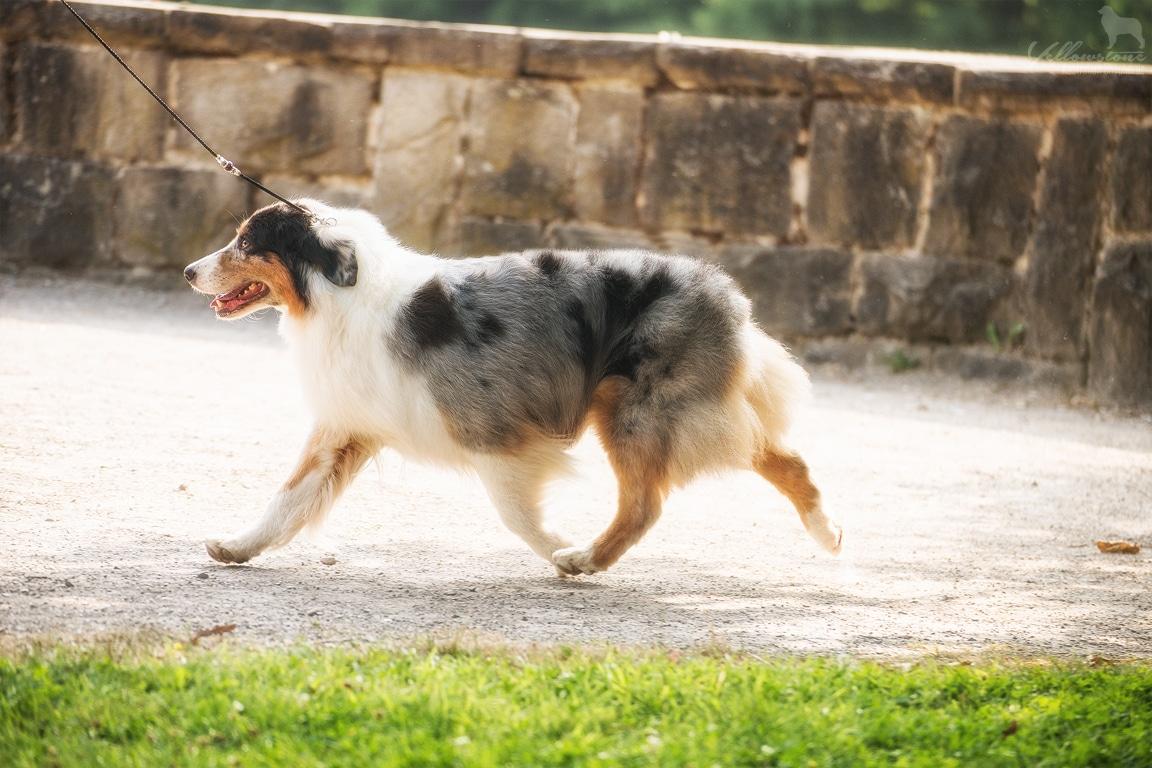 Willkommen bei den Yellowstones Lulu Bild 6 - Degenerative Myelopathien bei Hunden