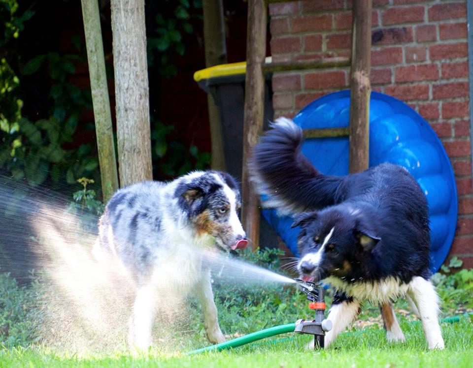 Josie Luke Roy Welpen Emma Paula beim Wasserspiel Bild 4 - Integration eines zweiten Hundes