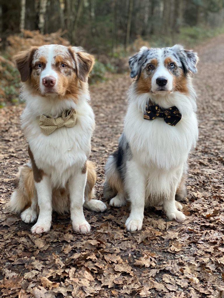 Einsatz Als Therapiehund Yellowstone Australian Shepherds