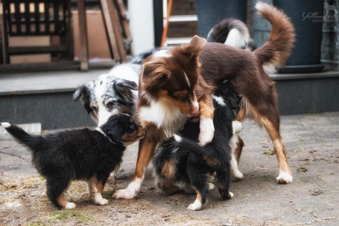 Josie Lennox Welpen Neue Fotos Bild 8 - Entwicklung des Charakters eines Hundes