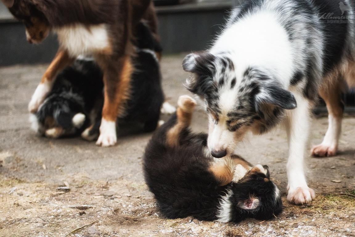 Josie Lennox Welpen Neue Fotos Bild 9 - Entwicklung des Charakters eines Hundes
