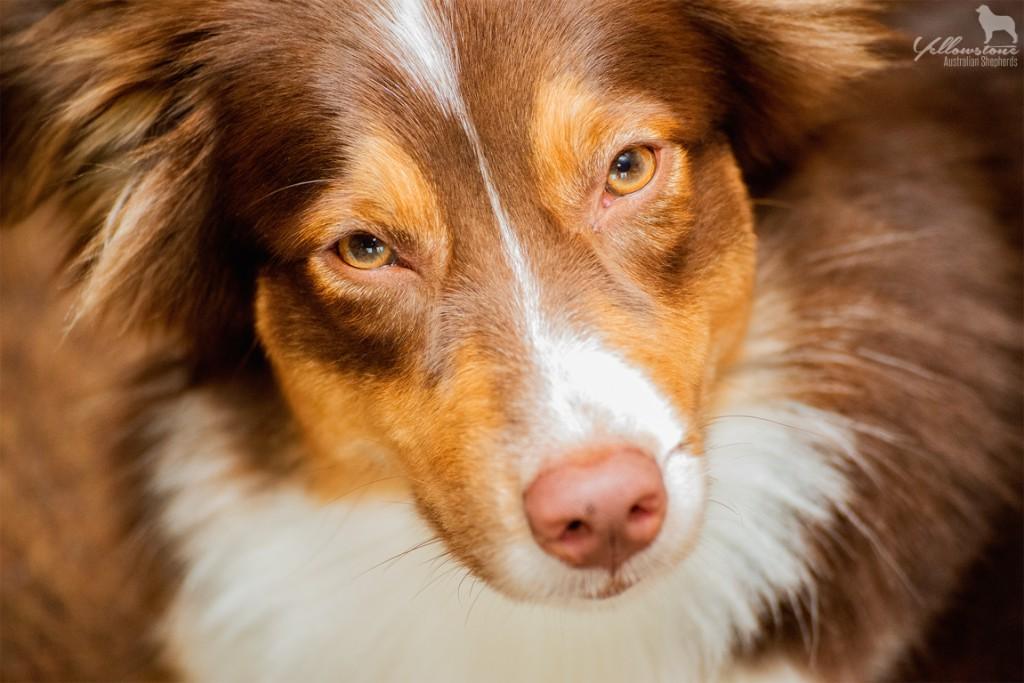 Layla ist über die Regenbogenbrücke gegangen Bild 1 - Auswirkung der Fellfarbe des Hundes auf das Verhalten