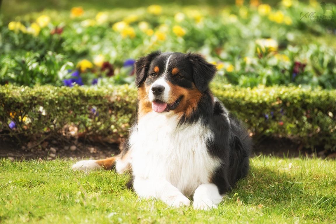 Maisy Atasi Welpen Brego Fotos Bild 5 - Auswirkung der Fellfarbe des Hundes auf das Verhalten