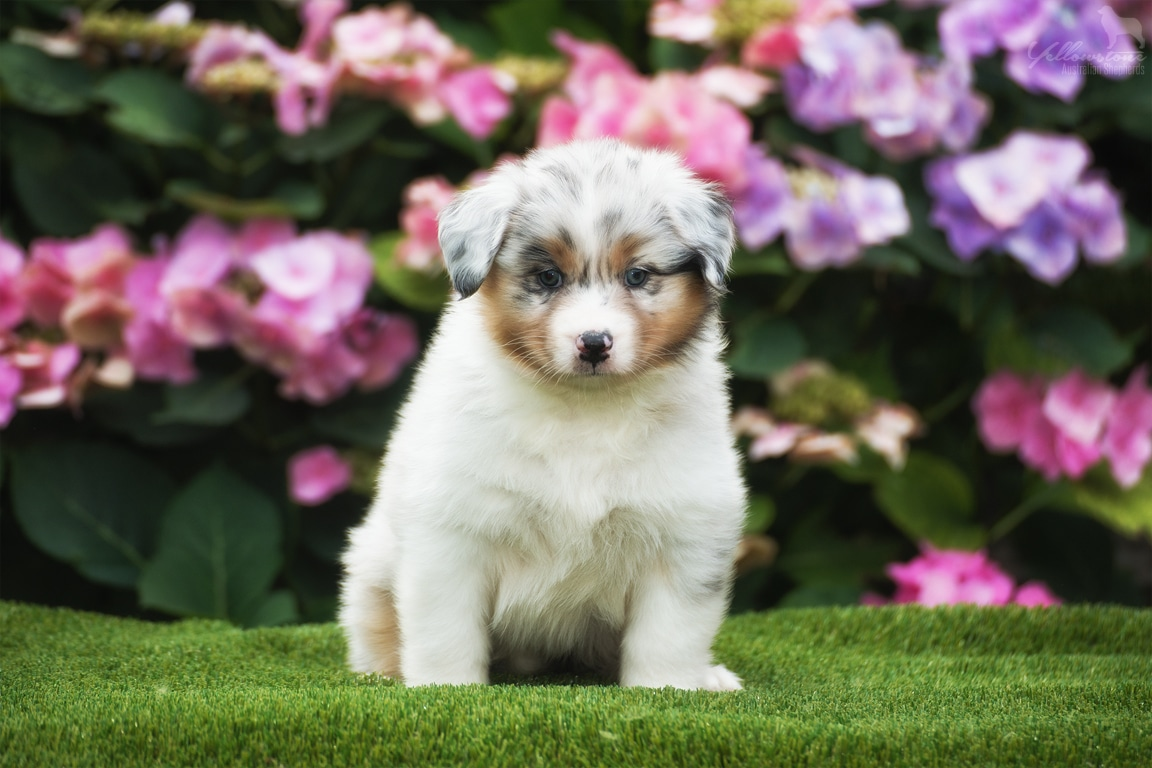 Lulu Brego Welpen Fotos 5 Wochen alt Beitragsbild - Ablauf der Hundegeburt
