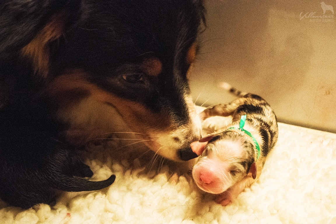 Neue Wurfplanungen Beitragsbild - Canines Herpesvirus Typ 1