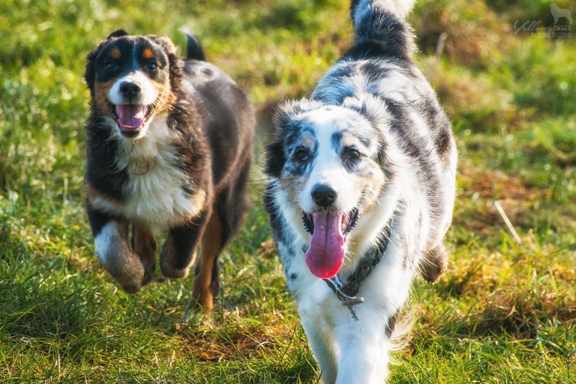 Integration eines zweiten Hundes - Yellowstone Australian Shepherds
