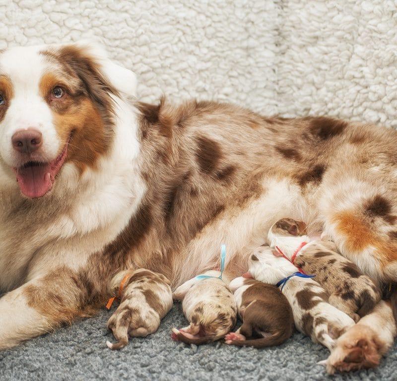 Maisy Horatio Welpen Einzelfotos online Beitragsbild 800x768 - Ablauf der Hundegeburt