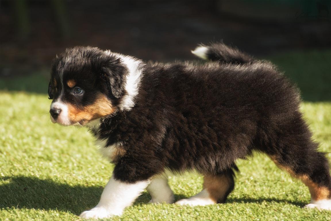Seven Horatio Welpen Sammy auf dem Hof Beitragsbild - Auswirkung der Fellfarbe des Hundes auf das Verhalten
