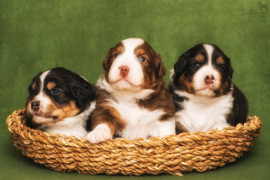 Seven Horatio Welpen 3 Wochen Fotos Bild 5 - Ablauf der Hundegeburt