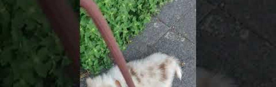 Maxi-Sammy-Filou-Welpen-Taya-erste-Mal-Leine-Beitragsbild.jpg