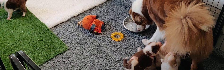 Maggy-Jeff-Welpen-Größerer-Auslauf-und-Spielzeug-Beitragsbild.jpg