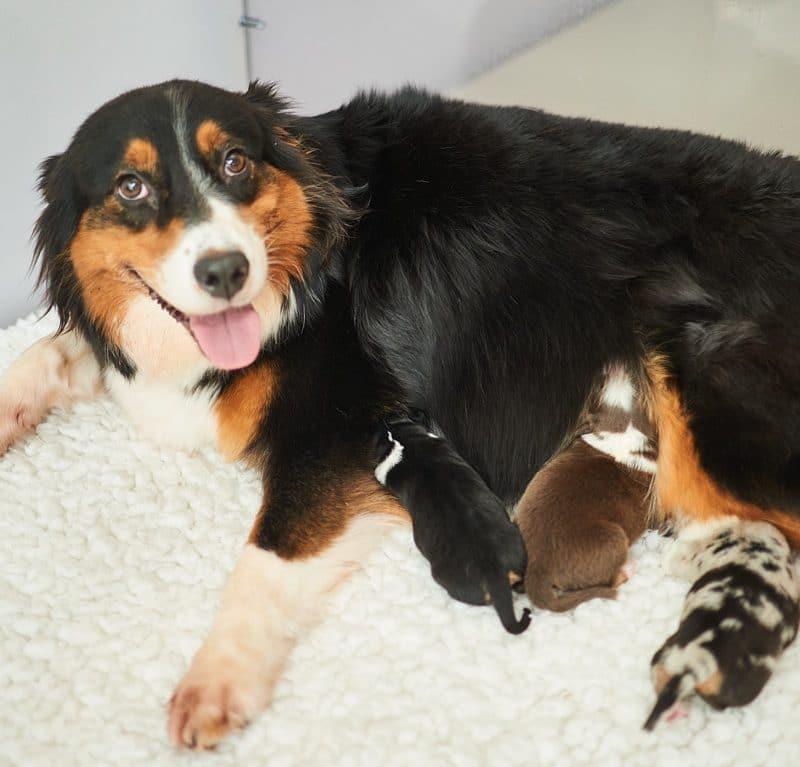 Seven Henry Beitragsbild 800x767 - Ablauf der Hundegeburt