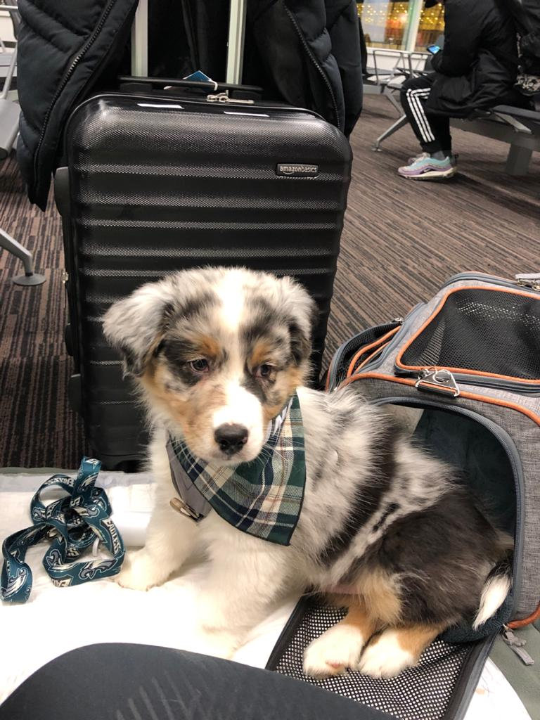 Hund in die USA importieren - Yellowstone Australian Shepherds