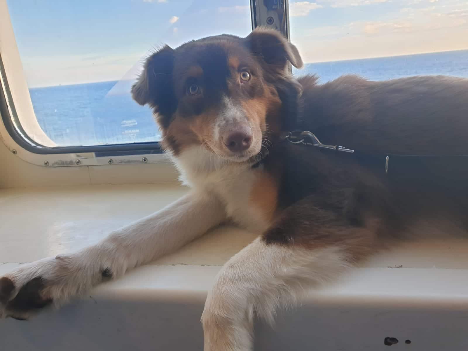 Hund nach Schweden importieren - Yellowstone Australian Shepherds