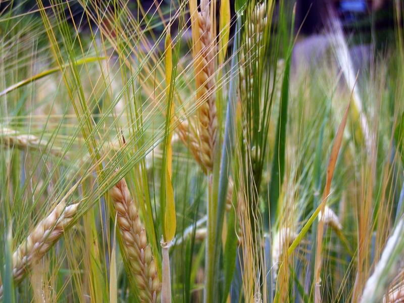 barleyfield - Grannen - Gefahr für den Hund