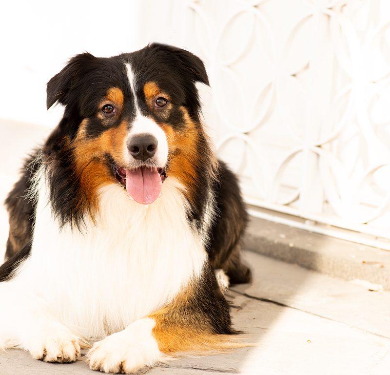 Lukier hund9 2 800x768 - Redivivus Lukier