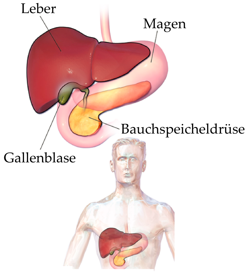 Bauchspeicheldrüse – Wikipedia