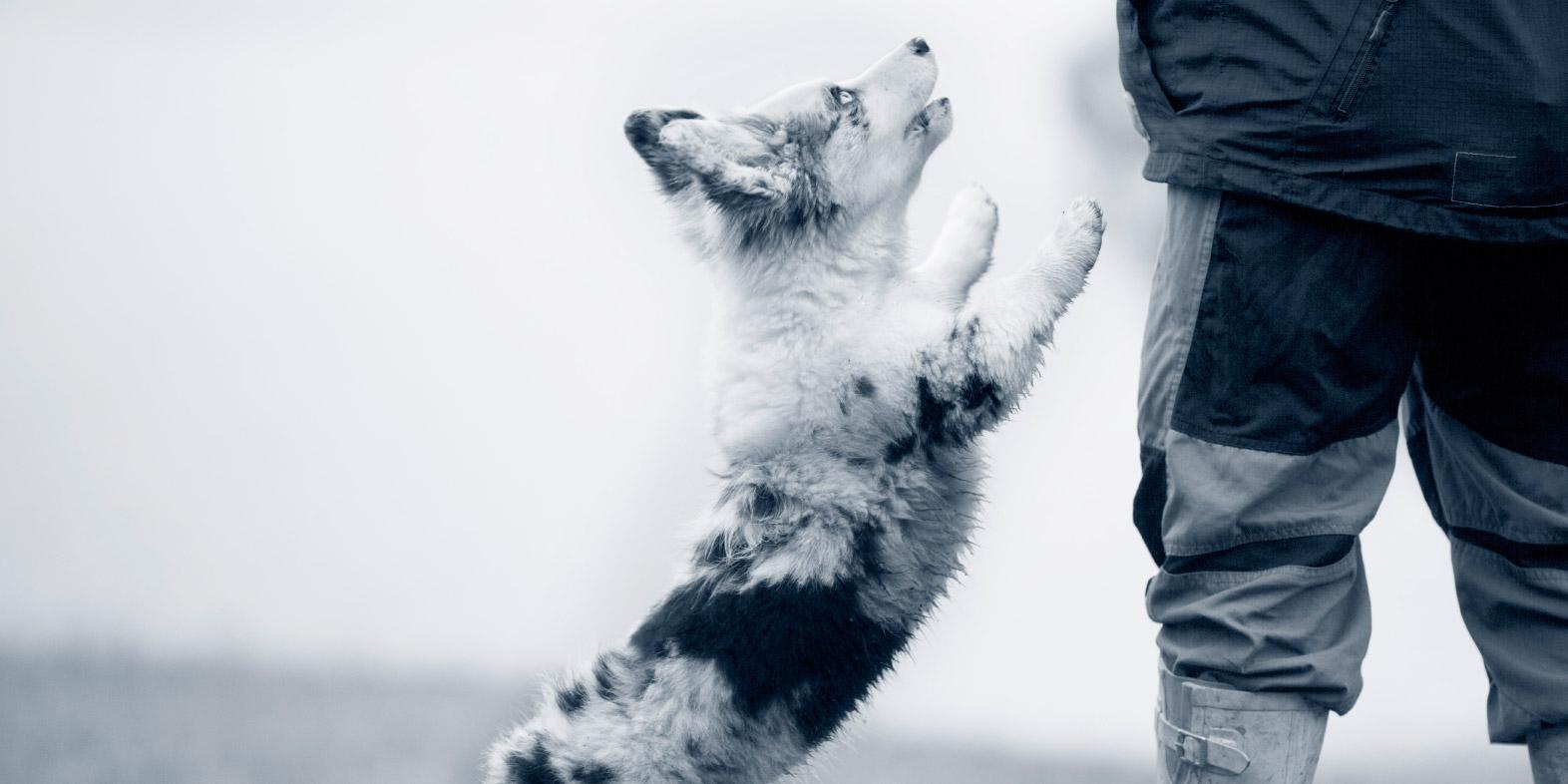 Hüftgelenksdysplasie (HD) Hund, Lahmheit, Schäferhund, Labrador, Golden Retriever | AniCura Deutschland