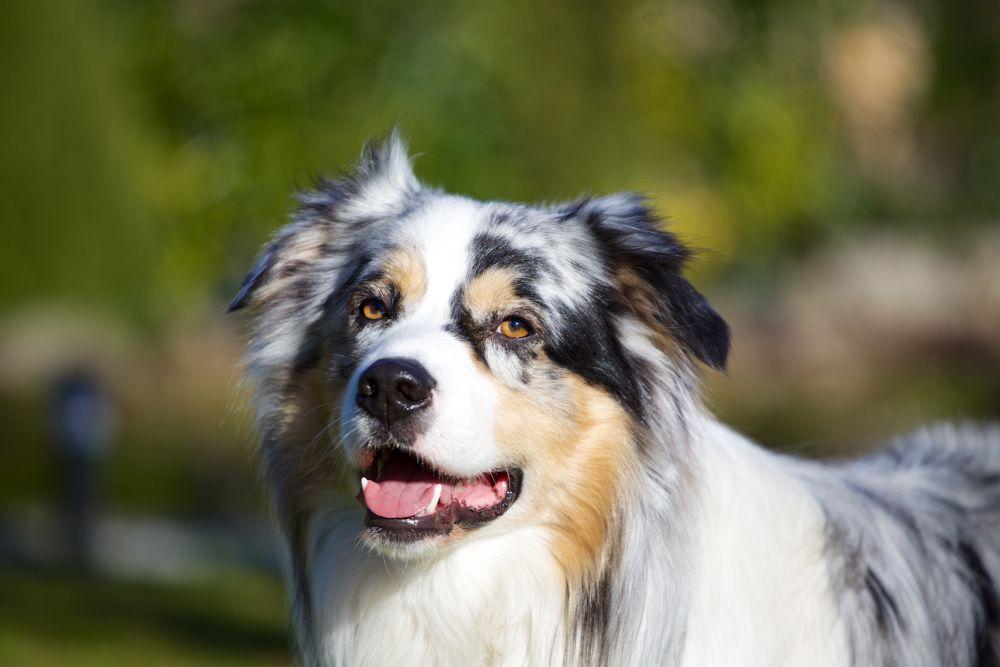 Australian Shepherd Lebenserwartung, Lebensdauer - myAustralianShepherd.de