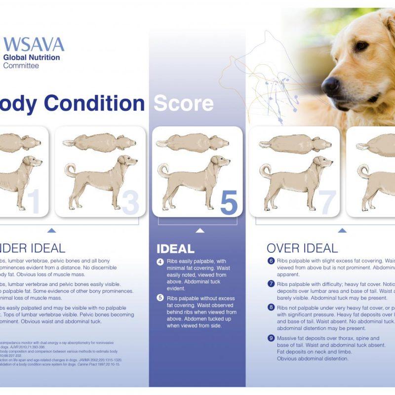 body condition score dog 800x800 - Ernährungszustand meines Welpen