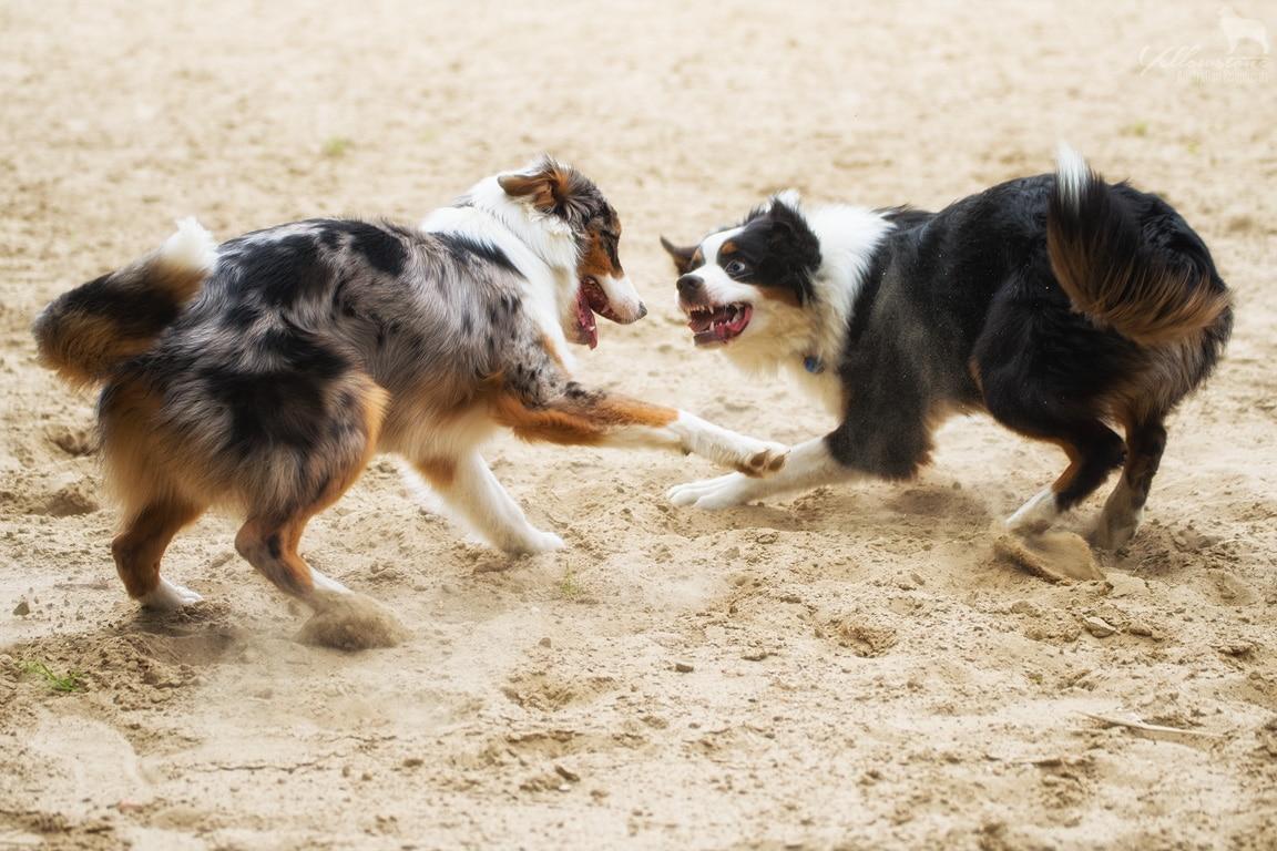 Entwicklung des Charakters eines Hundes - Yellowstone Australian Shepherds