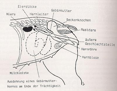 Geschlechtsapparat Hündin - Kastration-Aufklärung