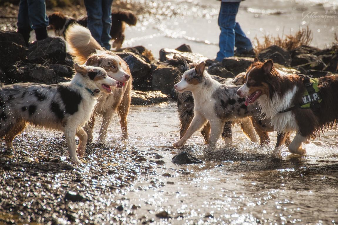 Yellowstone Walk 01.03.2015 26 - Mehrhundehaltung oder die Aussiesucht