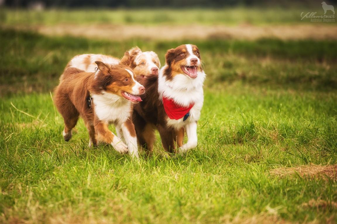 Hundetabus - Yellowstone Australian Shepherds