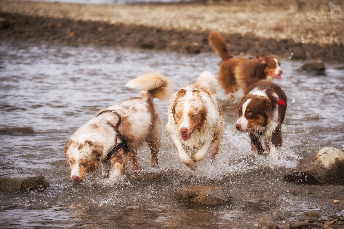 Yellowstone Walk 14.09.2014 21 - Mehrhundehaltung oder die Aussiesucht
