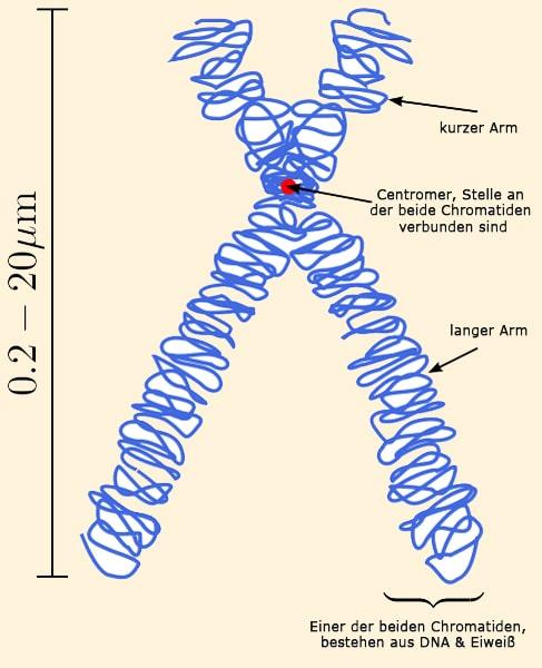 chromosom - Crashkurs Genetik, Vererbung & Erbgänge