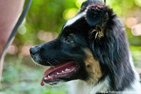 gebiss zaehne welpe1 - Gebiss und Zähne eines Hundes