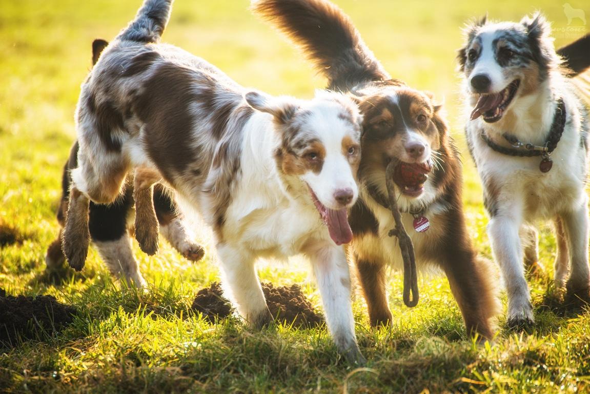 unbenannt 6659 - Mehrhundehaltung oder die Aussiesucht