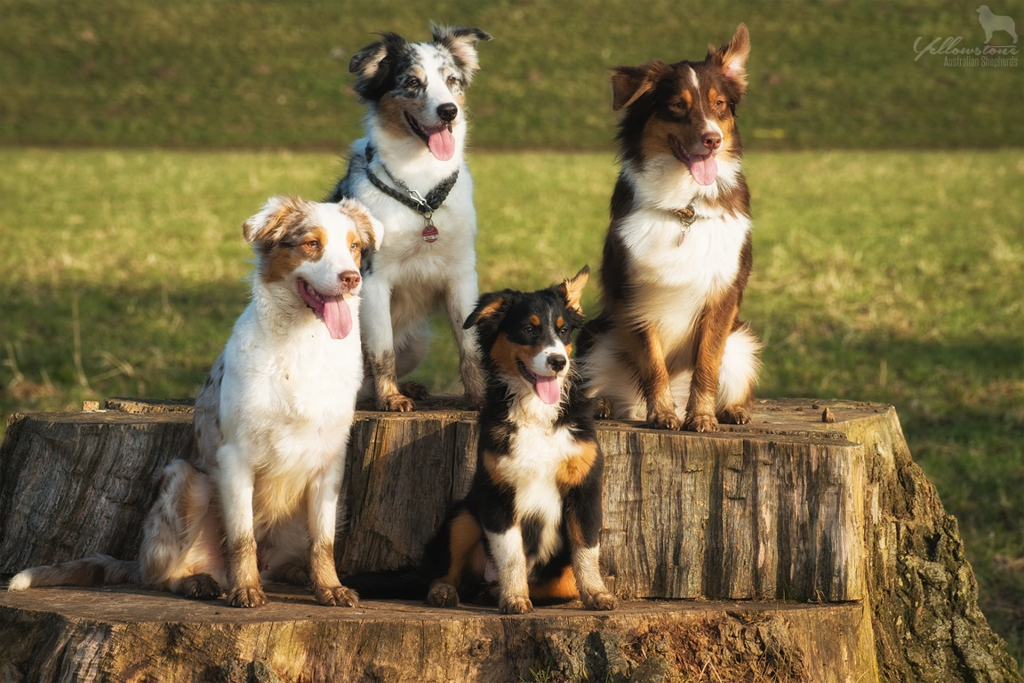unbenannt 68941 - Mehrhundehaltung oder die Aussiesucht