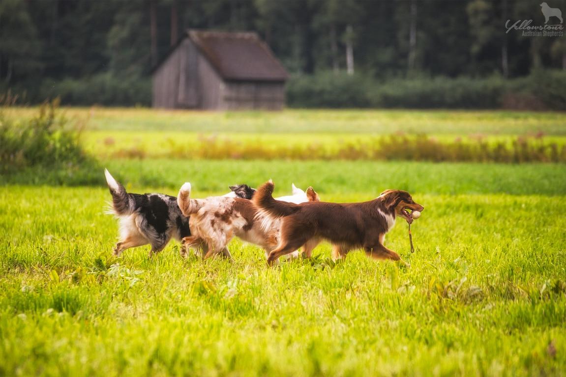 w DSC 2010 - Mehrhundehaltung oder die Aussiesucht