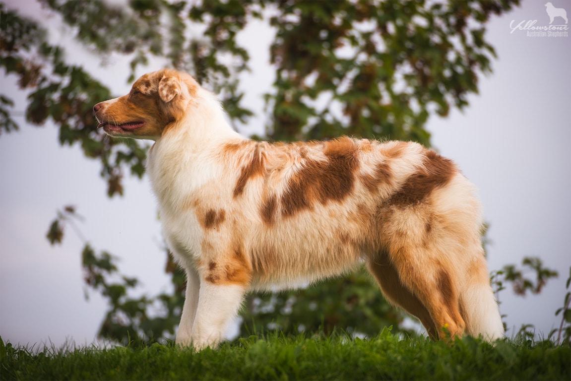 Menüpunkt für Australian Shepherd Deckrüden