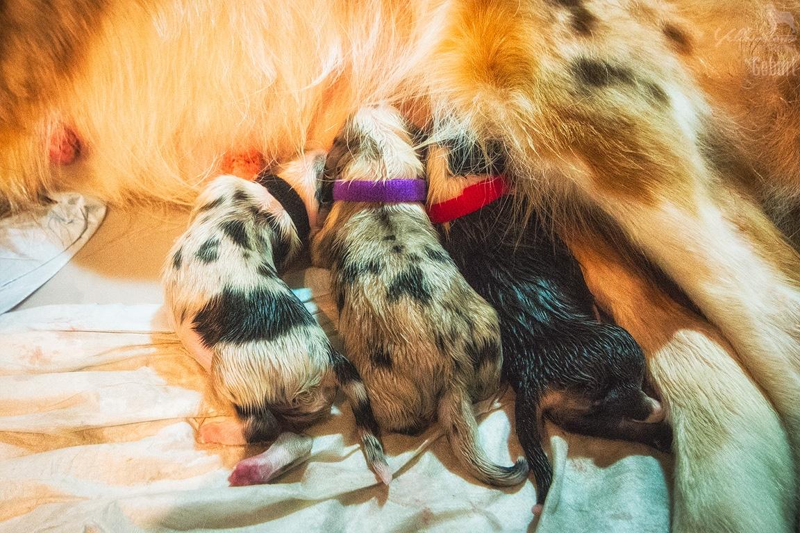 w Maisy Audi Geburt 3871 - Canines Herpesvirus Typ 1